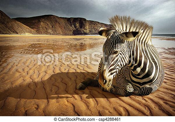 Beach Zebra - csp4288461