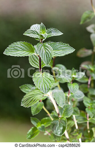 peppermint, plant, outdoors, herb,menthol,health,spice,leaf,bush,herbal,health,refreshment,spearmint,green,background,grow,organic,nature,season,foliage,fragrant,nobody,scented - csp4288626