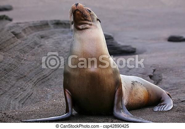 Galapagos sea lion on Santiago Island in Galapagos National Park, Ecuador - csp42890425