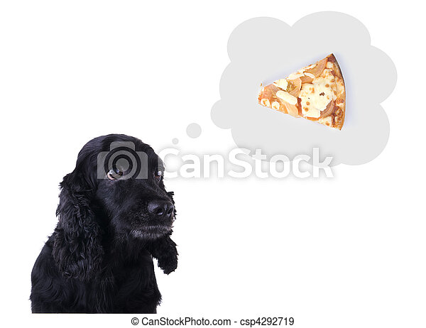 hungry cocker spaniel - csp4292719