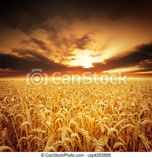 Golden Fields - csp4293888