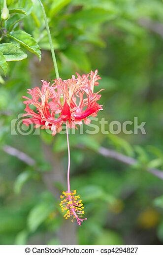 Fringed Hibiscus Flower - csp4294827