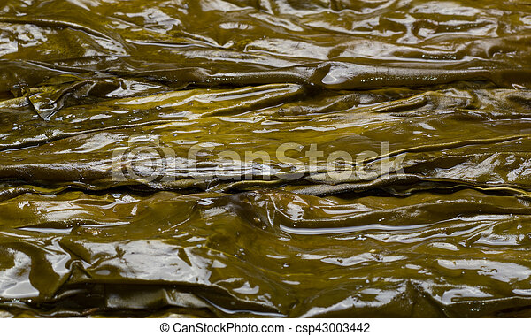 Big wet kelp leaves are used to wrap and a healthy lifestyle - csp43003442