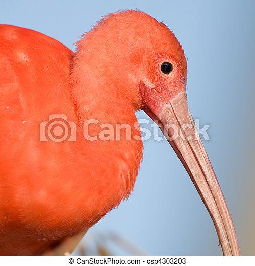 Scarlet ibis, profile. - csp4303203