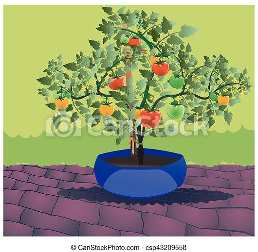 Classic Tomato plant 2 - csp43209558