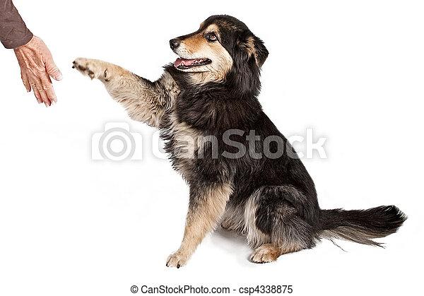 Australian Shepherd Shaking Hands - csp4338875