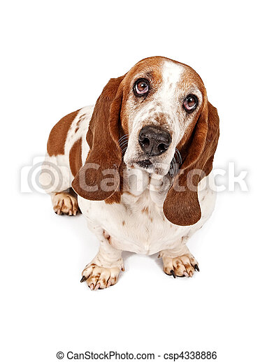 Basset Hound Dog With Sad Look - csp4338886