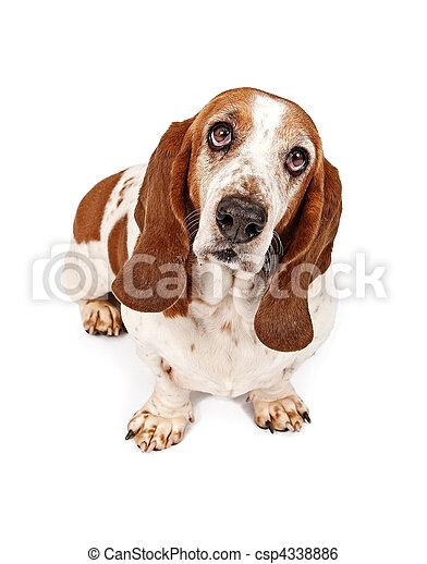 Basset Hound Dog With Sad Look - csp4338886
