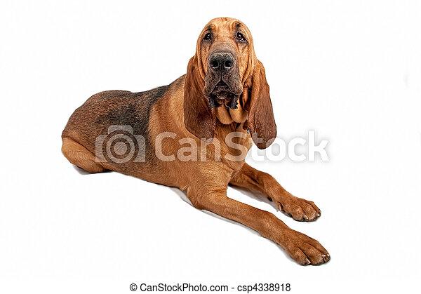 Bloodhound Dog Isolated on White - csp4338918