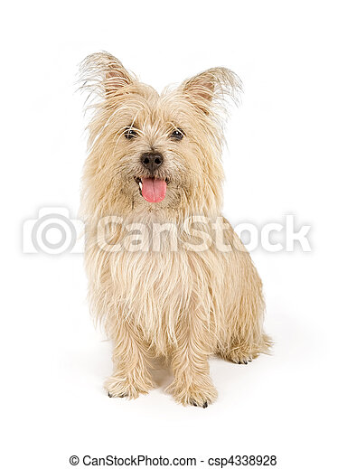 Cairn Terrier Dog Isolated on White - csp4338928
