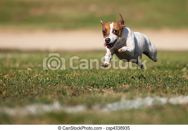 Energetic Jack Russell Terrier Dog Runs on the Grass - csp4338935