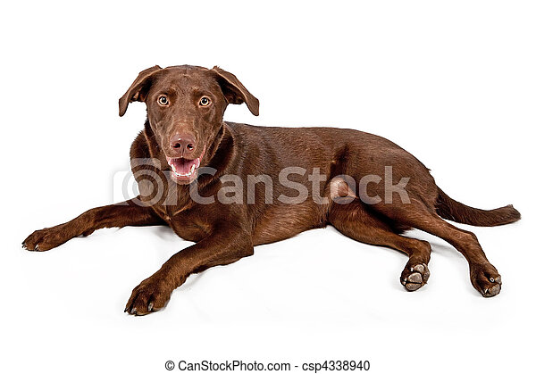 Chocolate Lab Laying Down - csp4338940