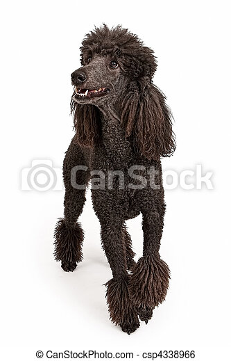Happy Black Standard Poodle Dog - csp4338966