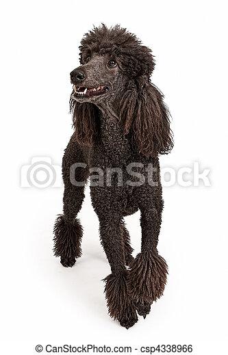 Happy Black Standard Poodle Dog - csp4338966