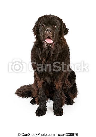 Black Newfoundland Dog Isolated on White - csp4338976