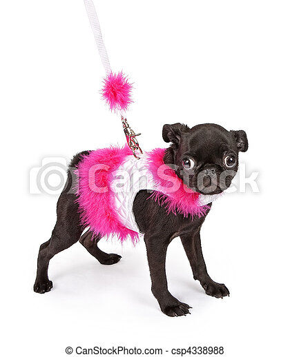 Black Pug Puppy in Pink Outfit - csp4338988