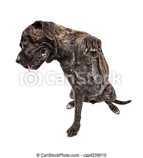 Shy Brindle Mastiff with paw out - csp4339010