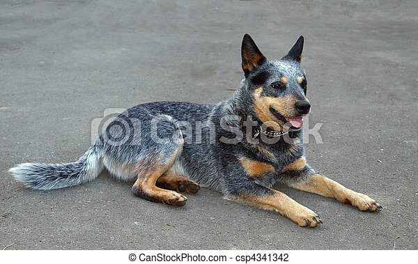 Australian Cattle Dog - csp4341342