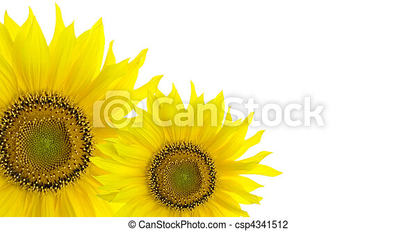 Sunflower background with place for your text - csp4341512