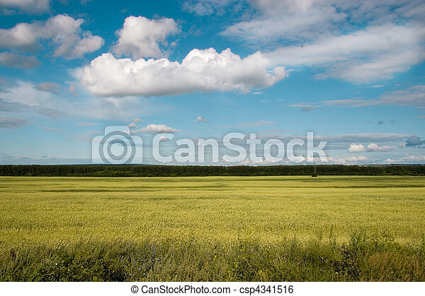 Wheat field golden and blue sky - csp4341516
