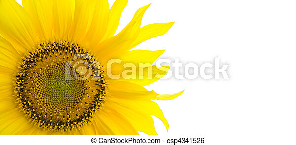 Sunflower background with place for your text - csp4341526