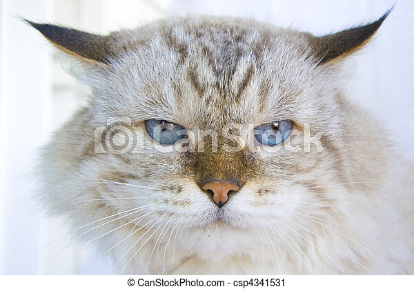 Angry cat with blue eyes - csp4341531