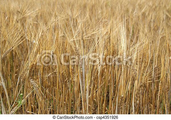 Ripe Golden Barley Field - csp4351926