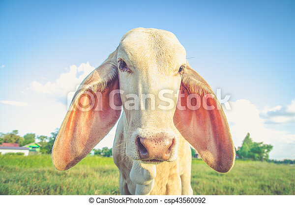 cow in farm land filter color process