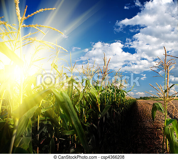 sunrise on corn field - csp4366208
