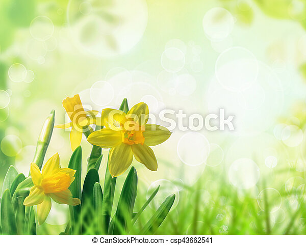 Daffodils in spring grass - csp43662541