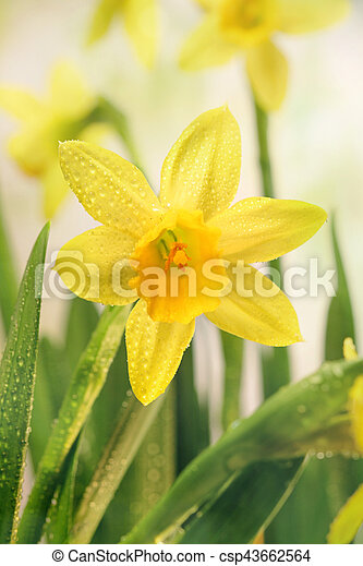Narcissus flowers and green leaves - csp43662564