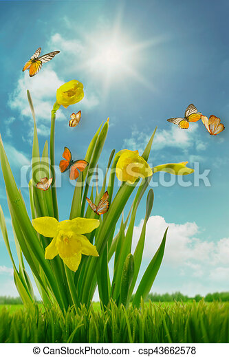 Daffodils and butterflies in field - csp43662578