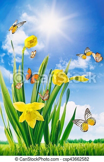 Daffodils and butterflies in field - csp43662582