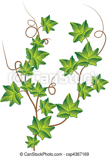 Green ivy. Vector Illustration - csp4367169