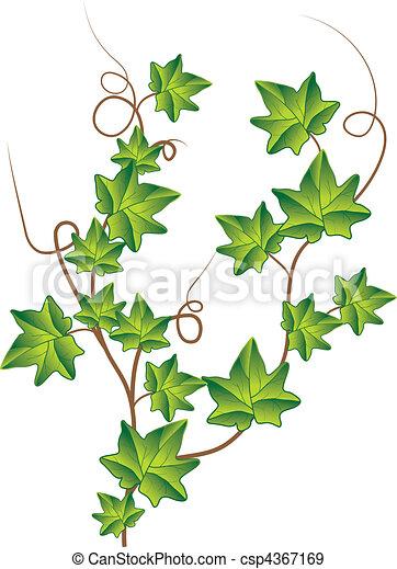 Green ivy. Vector Illustration - csp4367169