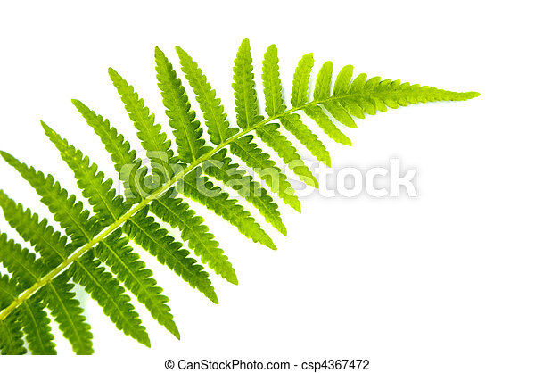 Fern Leaf - csp4367472