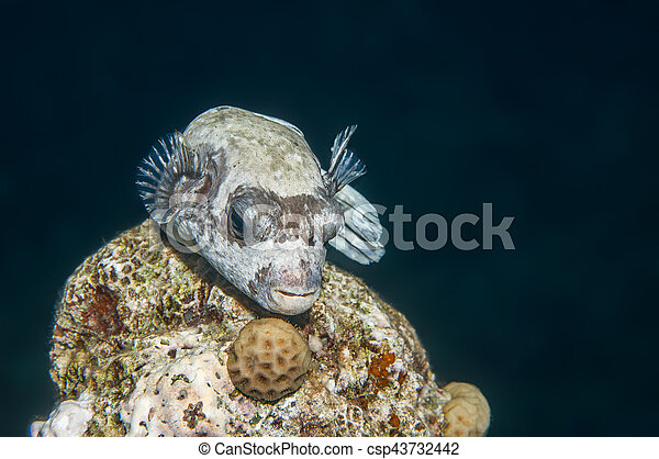 Masked puffer fish resting on a coral head at night. Red Sea, Egypt, October