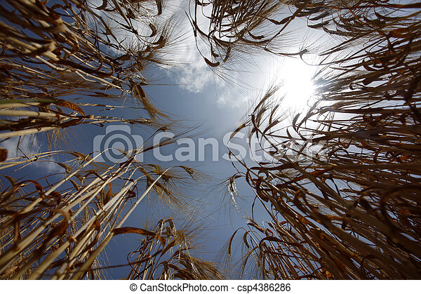 wheat field agriculture nature meadow growing food - csp4386286