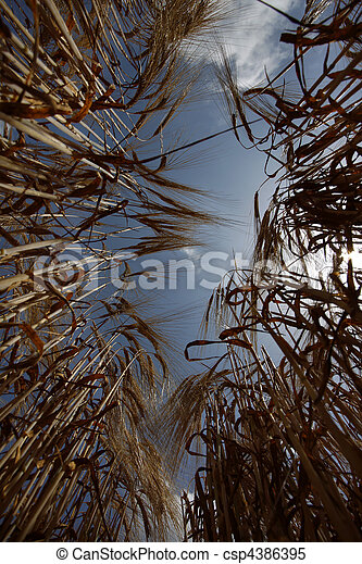 wheat field agriculture nature meadow growing food - csp4386395