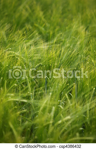 wheat field agriculture nature meadow growing food - csp4386432