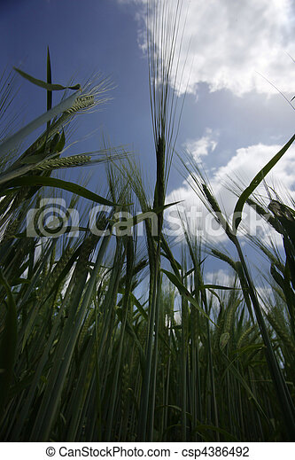 wheat field agriculture nature meadow growing food - csp4386492