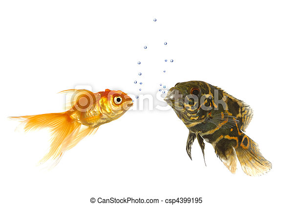 Images de poisson rouge tigre fish oscar goldfish et for Tarif poisson rouge