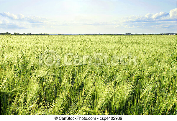 Green barley cereal field and sky - csp4402939