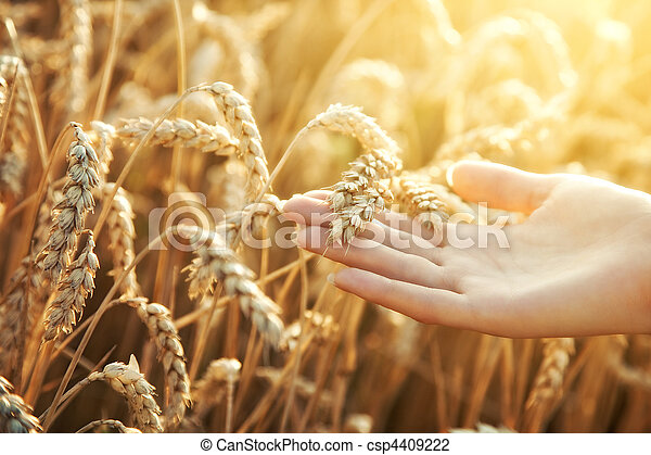 Woman hand with ear of wheat - csp4409222