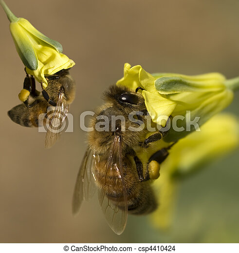 busy spring honey bees collecting pollen from yellow broccoli flowers in organic garden - csp4410424