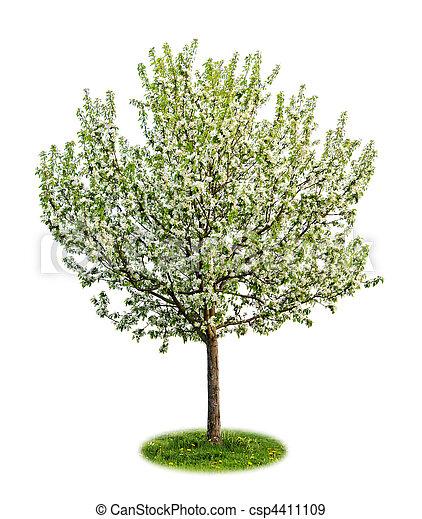開花, 樹, 被隔离, 蘋果 - csp4411109