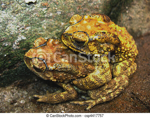 toad mating sex - csp4417757