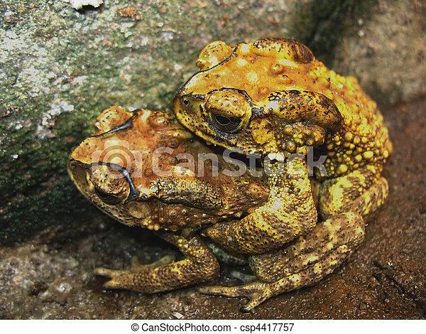 toad mating sex - csp4417757