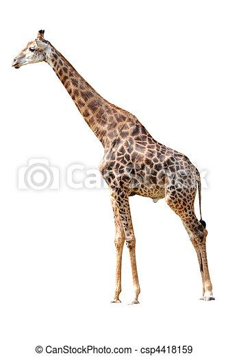 長頸鹿, 被隔离, 動物 - csp4418159
