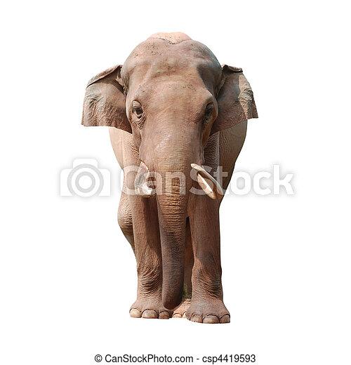 動物, 大象 - csp4419593